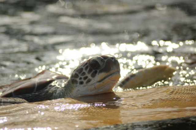 A green turtle at the Cayman Turtle Farm. (CNW Group/World Society for the Protection of Animals)