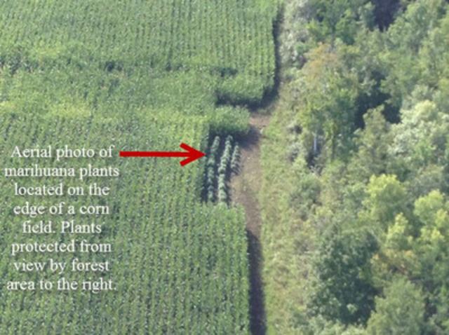 Vue aérienne de plants de marijuana situés en périphérie d'un champ de maïs. Les plants sont protégés des regards par le secteur boisé à droite. (Groupe CNW/Groupe de travail régional de Cornwall)