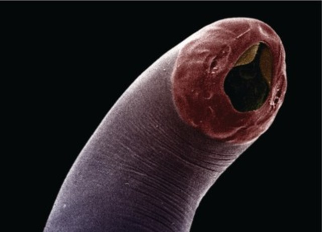 Adult hookworm. (c) Bayer Inc. (CNW Group/Canadian Animal Health Institute)
