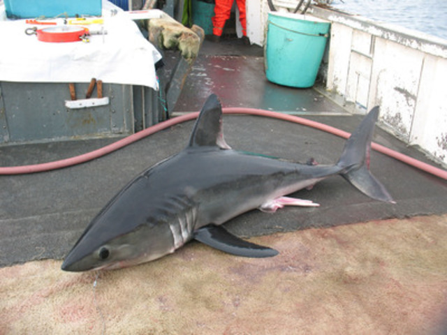 Porbeagle shark © Steven Campana (CNW Group/Committee on the Status of Endangered Wildlife in Canada)