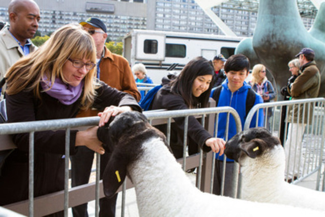 Torontonians enjoyed the Shropshire sheep stars from The Royal Agricultural Winter Fair today at City Hall (Photo credit: Mark Peachey, The Digitalist) (CNW Group/The Royal Agricultural Winter Fair)