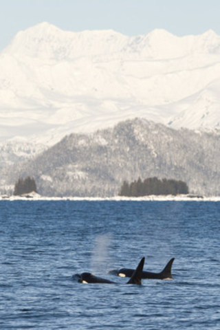 Killer whales (Orcinus orca) surfacing in Prince William Sound, Alaska, United States. (c) Scott Dickerson / WWF-US (CNW Group/WWF-Canada)