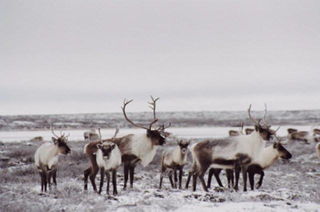 Caribou, population de la toundra © Ann Gunn (Groupe CNW/Comité sur la situation des espèces en péril au Canada)