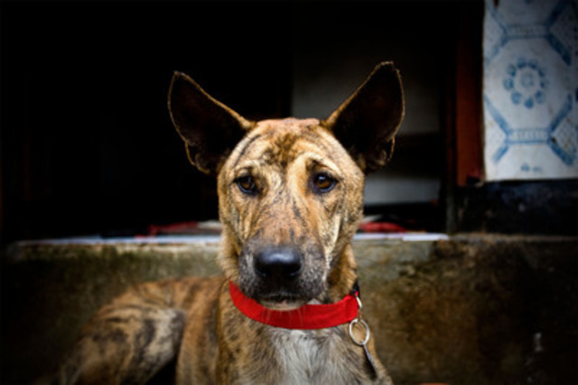 After an outbreak of rabies on Bali the government responded by killing dogs. WSPA began the Collars Not Cruelty campaign to stop the killing and instead vaccinate dogs. Miko wears a red collar showing that he has been vaccinated - protecting him and his community from rabies. (Groupe CNW/World Society for the Protection of Animals)