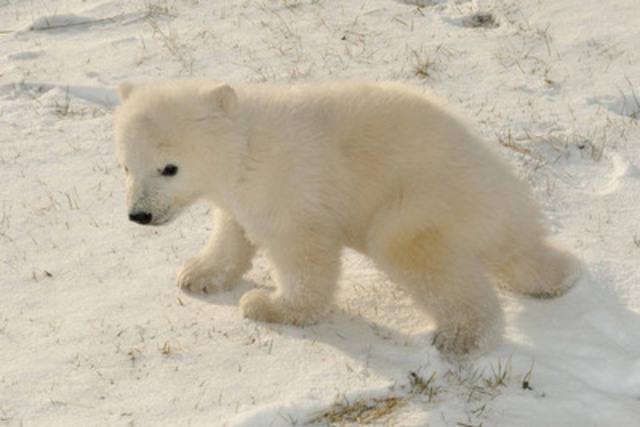 Healthy Polar Bear Cub Makes Debut at Toronto Zoo. (CNW Group/Toronto Zoo)