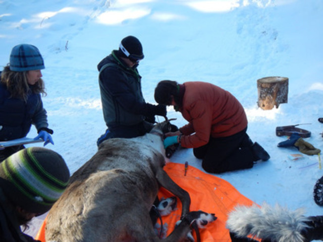 Members of the Northern Caribou Maternity Penning Project, led by the West Moberly and Saulteau First Nations, add a radio collar and take blood samples from a female caribou just outside of Chetwynd, BC. The pregnant female will live in a four hectare, screened, secure penned area for protection from predators and be fed and monitored until she delivers her calf and they are both strong enough to be released back into the open range in July. (CNW Group/West Moberly First Nations)