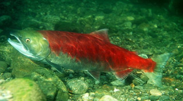 Saumon rouge (femelle mature) © E.R. Keeley (Ph.D.) (Groupe CNW/Comité sur la situation des espèces en péril au Canada)