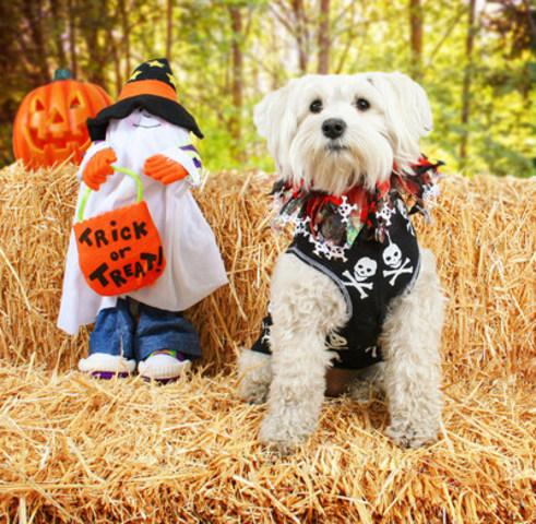 Comme la plupart des fêtes, l'Halloween comporte son lot de préoccupations à l'égard de nos chats et nos chiens. Les sucreries peuvent être toxiques, les déguisements peuvent être contraignants et les chats et les chiens peuvent s'échapper de la maison durant le remue-ménage entraîné par tous ces petits monstres qui se présentent à votre porte. (Groupe CNW/Institut canadien de la santé animale)