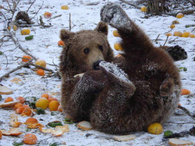 A rescued bear enjoys a meal in the snow. (C) AMP/World Animal Protection  (CNW Group/World Animal Protection)