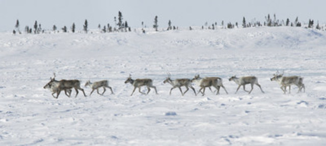 A herd of barren-ground caribou in Canada. Photo by Peter Ewins/WWF-Canada. More images and video at http://bit.ly/ArcticCaribou (CNW Group/WWF-Canada)