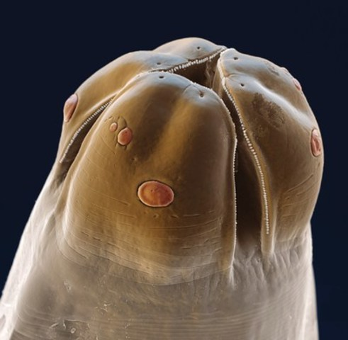 Adult roundworm. (c) Bayer Inc. (CNW Group/Canadian Animal Health Institute)