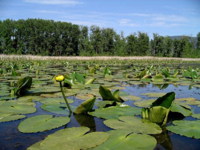 Selon The State of North America's Birds Report, grâce aux investissements dans les milieux humides, la plupart des populations de sauvagine et d'autres oiseaux aquatiques croissent depuis 50 ans. (Groupe CNW/CANARDS ILLIMITES CANADA)