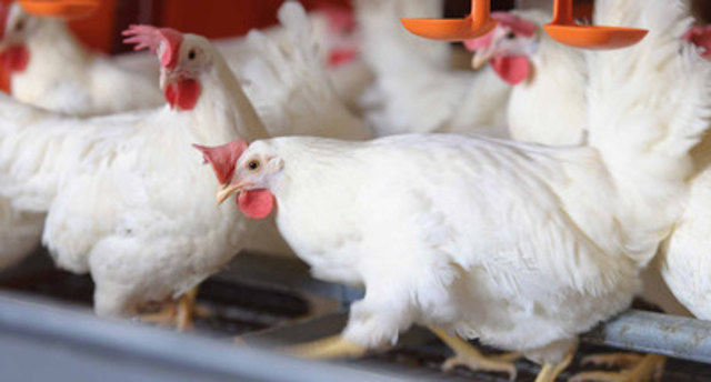 A&W is the first and only quick service restaurant chain to serve eggs from hens in enriched housing and raised without the use of antibiotics. A&W is committing to improving and redesigning housing for egg laying hens within two years. A&W egg laying hens in enriched housing pictured. (A&W Food Services of Canada Inc.) (CNW Group/A&W Restaurants)