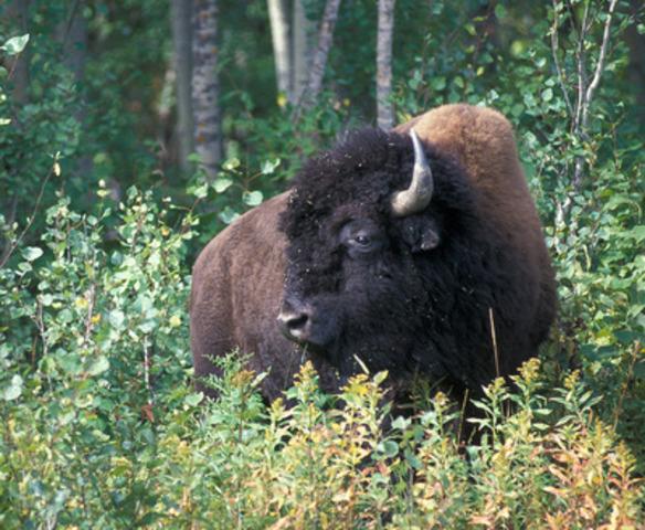 Bison des prairies © Gord Court (Groupe CNW/Comité sur la situation des espèces en péril au Canada)