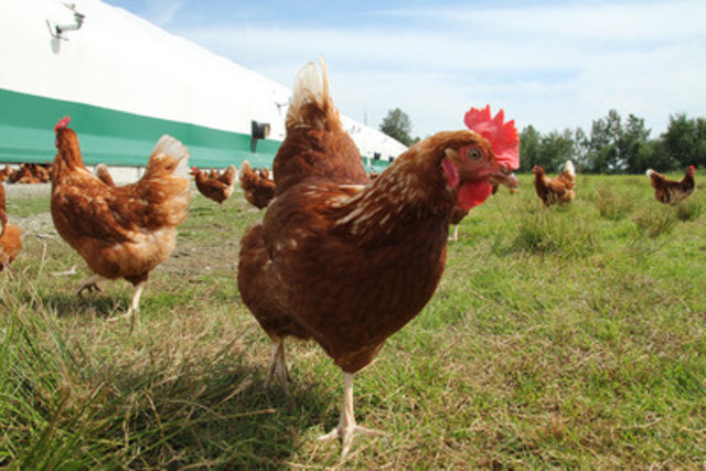 Free range hens on a Canadian farm. © World Animal Protection/icproductions (CNW Group/World Animal ...