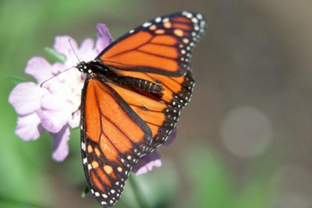 Le monarque parcourt de longs trajets en classe économique : il profite des courants ascendants, comme tant d'oiseaux, en battant à peine des ailes pour planer. (Groupe CNW/CANARDS ILLIMITES CANADA)
