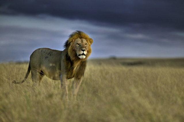 Adult male lion on the plains of the Masai Mara national reserve in Kenya. World Animal Protection believes that wild animals belong in the wild. (c)Andy Rouse/naturepl.com (CNW Group/World Animal Protection)