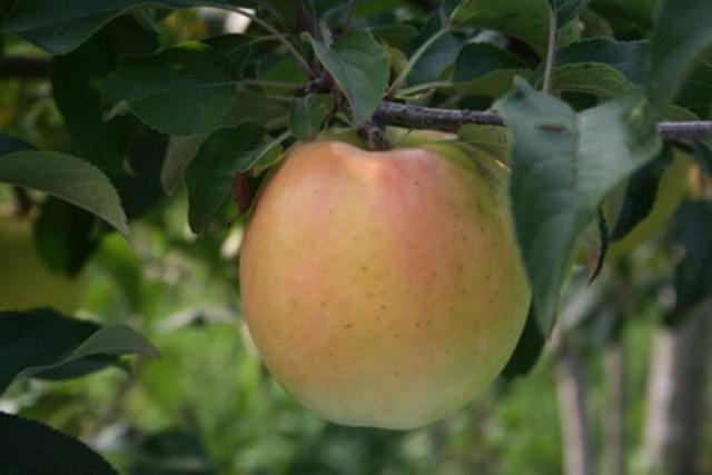 La nouvelle variete de pomme Passionata (Q-370) est commercialisee cet automne par La Pomme de demain. Parfumee et croquante, la pomme aux saveurs rappelant le raisin muscat et le fruit de la passion plaira assurement aux gourmets souhaitant decouvrir un nouveau produit du terroir. Le fruit jaune, legèrement orange et rose sur la face ensoleillee, est à maturite le 15 octobre. (Groupe CNW/La Pomme de demain)
