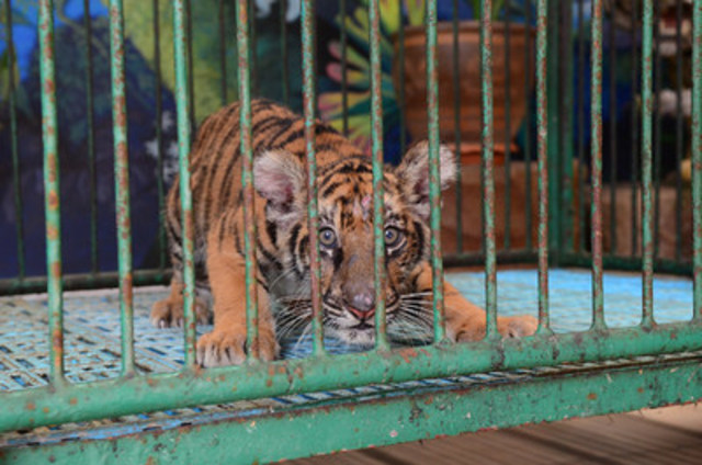 A captive tiger cub at Sriracha Tiger Zoo, Thailand. World Animal Protection believes that animals belong in the wild and should not be used for our entertainment. © World Animal Protection (CNW Group/World Animal Protection)