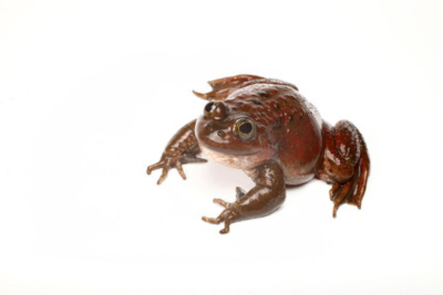 Oregon spotted frog, the most endangered amphibian in Canada (CNW Group/Earth Rangers)