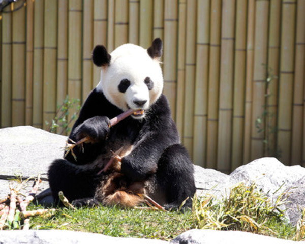 Da Mao, (Born Sept 1 2008) giant panda, enjoys some bamboo during a VIP/Media Event at the Toronto Zoo. The Giant Panda Experience opens to the public on May 18th. (CNW Group/Toronto Zoo)