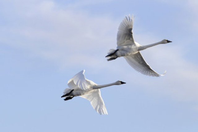 Arctic tundra swans mark an early sign of spring. Winging their way northward, tundra swans hoot and holler from high above, announcing the change of season like a rowdy crowd at a sporting event. (CNW Group/DUCKS UNLIMITED CANADA)