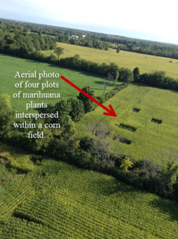 Aerial photo of four plots of marihuana plants interspersed within a corn field. (CNW Group/Cornwall Regional Task Force)