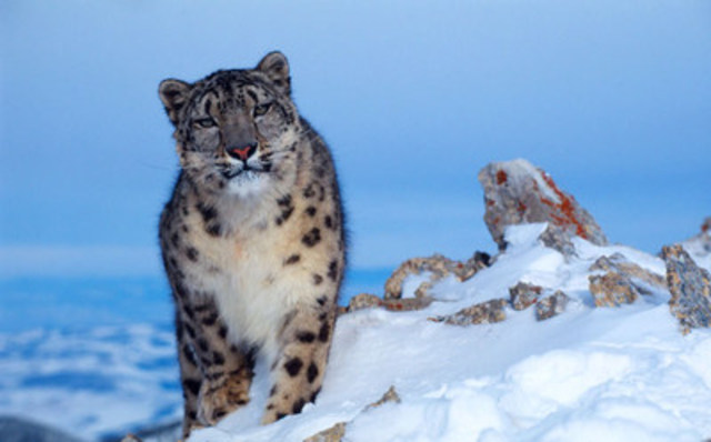 (c) Klein & Hubert / WWF - Snow leopard (Uncia uncia) in winter (CNW Group/WWF-Canada)