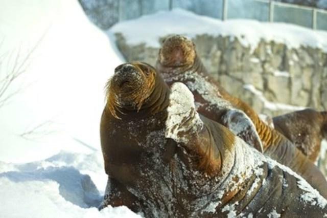 Les deux morses femelles de l'Aquarium du Québec attendent du nouveau (Groupe CNW/Société des établissements de plein air du Québec)