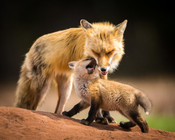 The winning image - Momma and Baby Red Fox (CNW Group/Wallace River Photography)