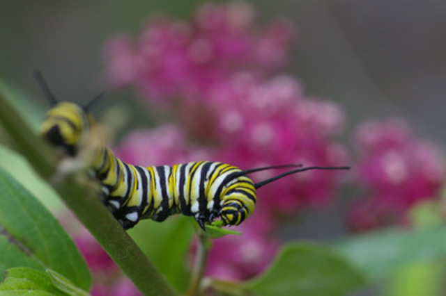 A monarch caterpillar from the Rouge Valley. (CNW Group/Parks Canada)