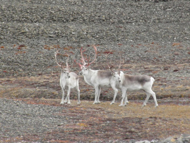 Caribou de Peary © Morgan Anderson (Groupe CNW/Comité sur la situation des espèces en péril au Canada)