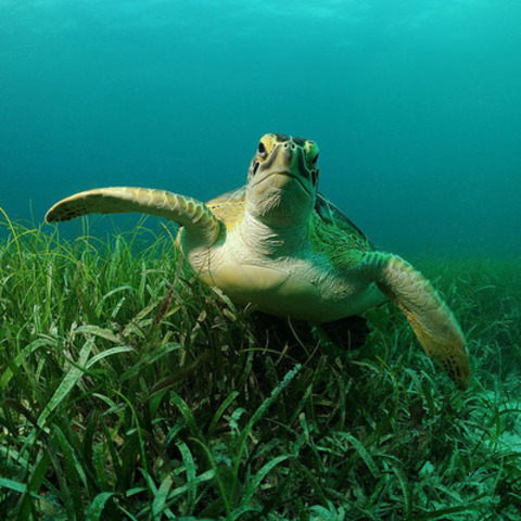 A green turtle in the wild. (CNW Group/World Society for the Protection of Animals)