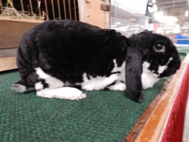 Velveteen Lop Rabbit (CNW Group/Royal Agricultural Winter Fair)