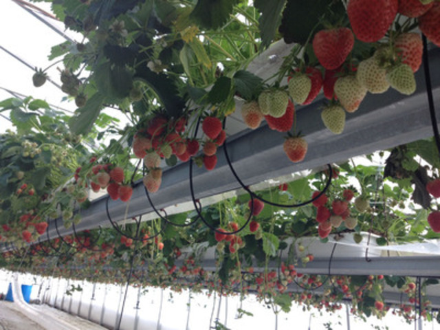 La Frissonnante greenhouse strawberries sold exclusively at Metro (CNW Group/METRO INC.)