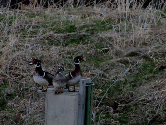 Build them and they will come. A trio of Wood Ducks (two males and a female) perched on one of the bird houses placed by Waste Management of Canada at the City of Hamilton's Glanbrook municipal landfill site. The company won a prestigious ecology award for its waterfowl habitat project. (CNW Group/Waste Management, Inc.)