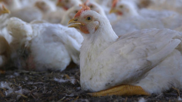 A 28 day old (approximately) chicken in a commercial system. World Animal Protection (CNW Group/World Animal Protection)