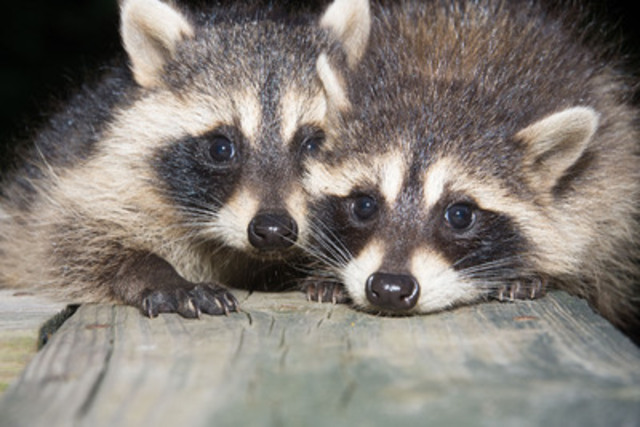 While four raccoons have tested positive for rabies in Hamilton, Ontario this month, the OAVT Rabies Response Program confirms 11 bats have also tested positive for the virus in the province since January. (CNW Group/Ontario Association of Veterinary Technicians)