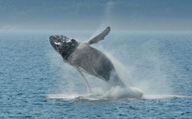 Saut de rorqual à bosse au large de Tadoussac (Groupe CNW/Groupe de recherche et d'éducation sur les mammifères marins (GREMM))